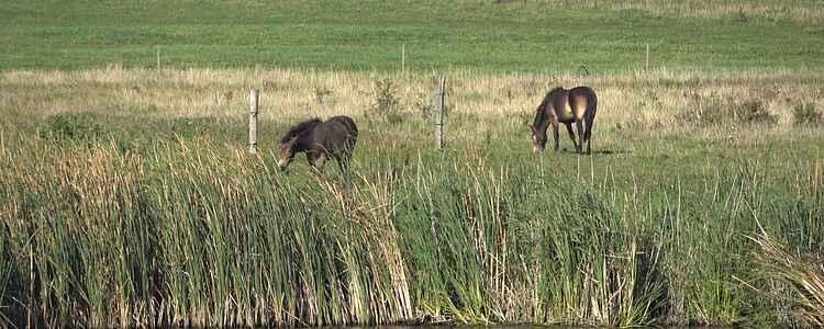 Die wilden Pferde auf Langeland